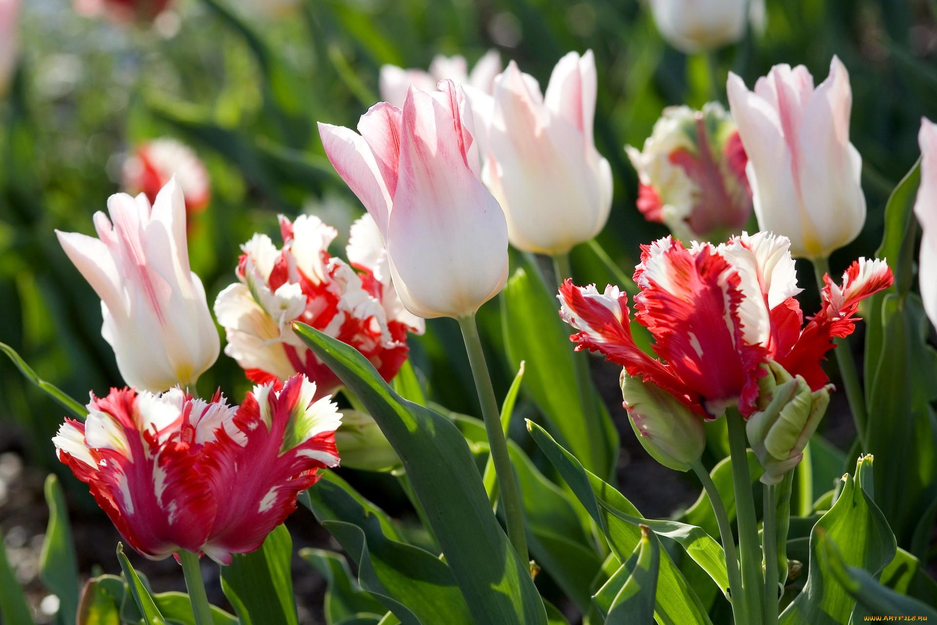 предотвращения облысения красивые тюльпаны очень фото оформлена песочном
